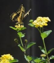 Butterfly 1 (681x800)
