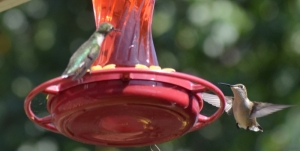 2 Hummingbirds (800x405)
