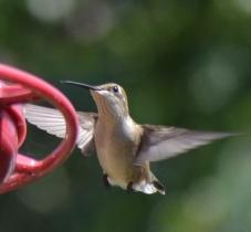 2 Hummingbirds - Copy (763x706)