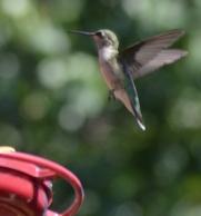 Hummingbirds 9.7.15 2015-09-07 046 (746x800)