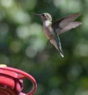 Hummingbirds 9.7.15 2015-09-07 046 (746x800)