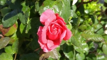 Flower 2 (800x450)