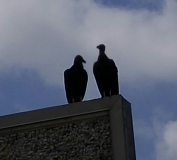 buzzards-800x727